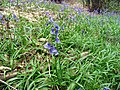 Bluebells - geograph.org.uk - 816005.jpg