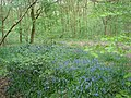 Bluebells in Dog Kennel Wood - geograph.org.uk - 166294.jpg