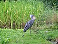 Bluish shoebill.jpg