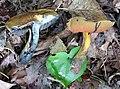 Boletus fairchildianus 428821.jpg