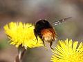 Bombus lapponicus(?) - Lapphumla.jpg