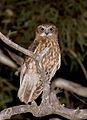 Boobook Owl (Ninox boobook) (22383289369).jpg