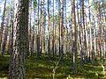 Bor common pine Karelia 1.jpg