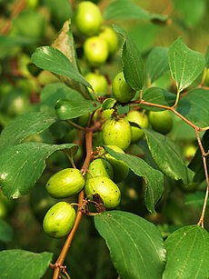 Boroi Fruit Production in Bangladesh 1.JPG