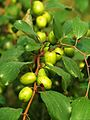 Boroi Fruit Production in Bangladesh 1.JPG