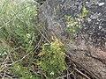 Boronia anethifolia.jpg