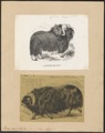 Bos moschatus - 1700-1880 - Print - Iconographia Zoologica - Special Collections University of Amsterdam - UBA01 IZ21200263.tif