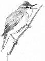 Bosrietzanger Acrocephalus palustris Jos Zwarts 3.tiff