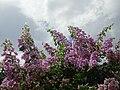 Bougainvillea Display - Balgue - Ometepe Island - Nicaragua (30956194954).jpg