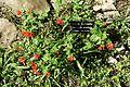 Bouvardia ternifolia - Zilker Botanical Garden - Austin, Texas - DSC09006.jpg