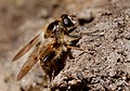Brachypalpus laphriformis, Parc de Woluwé, Brussels (33843099994).jpg