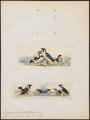 Brachyramphus antiquus - - Print - Iconographia Zoologica - Special Collections University of Amsterdam - UBA01 IZ17800277.tif