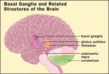 Brain structure.png