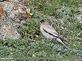 Brandt's Mountain Finch (Leucosticte brandti) (44427369155).jpg