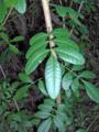 Brazilian-Pepper (5601433172).png