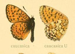 Brenthishecatecaucasica.jpg