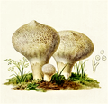 Bresadola - Lycoperdon gemmatum.png