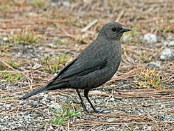 Brewer's Blackbird female RWD.jpg