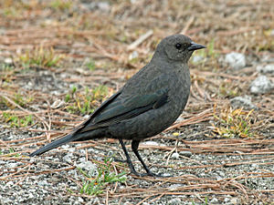 Brewer's Blackbird female RWD.jpg