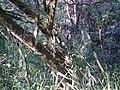 Bromélia na base de uma árvore 2.jpg