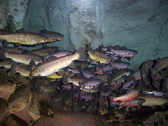 Tennessee Aquarium - Brook trout, brown trout and rainbow trout on exhibit in River Journey