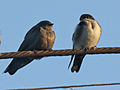 Brown-bellied Swallow and Blue-and-white Swallow RWD.jpg