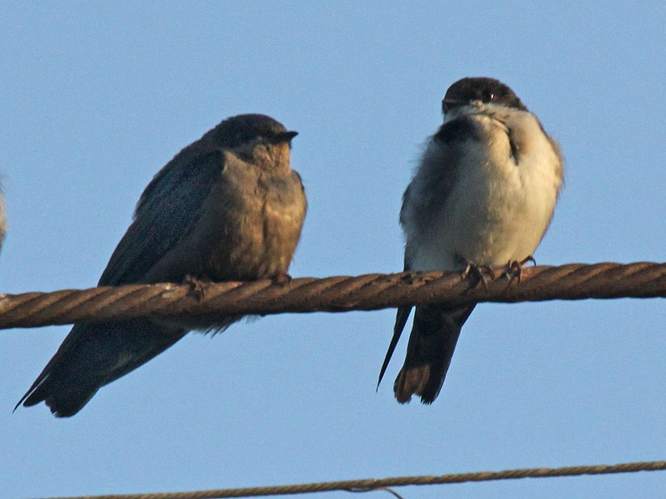 Brown-bellied Swallow and Blue-and-white Swallow RWD