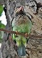 Brown-headed Barbet (Megalaima zeylanica) at Bharatpur I IMG 5303.jpg