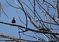 Brown-headed cowbirds (2397564344).jpg