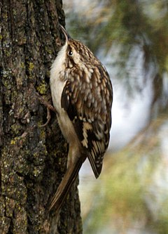 Brown Creeper (4202627859).jpg