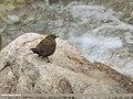 Brown Dipper (Cinclus pallasii) (46563181801).jpg