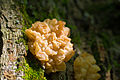 Brown Witch's Butter (Tremella foliacea) (20341140453).jpg