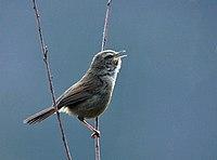 Brownish-flanked Bush Warbler- calling I IMG 6773