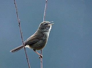 <i>Horornis</i> genus of birds