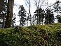 Bryophyte on a death tree at Großer Feldberg mountain.jpg