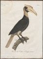 Buceros hydrocorax - 1801 - Print - Iconographia Zoologica - Special Collections University of Amsterdam - UBA01 IZ19300169.tif