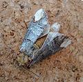 Buff-tip. Phalera bucephala. (7414666544).jpg