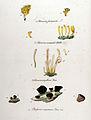 Bulgaria inquinans — Flora Batava — Volume v11.jpg