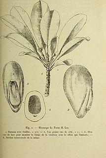 <i>Autranella</i> genus of plants