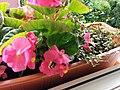Bumblebee on Begonia x semperflorens-cultorum publicdomain tbf - 20.jpg