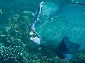 Bumphead parrotfish (Bolbometopon muricatum) (46727238545).jpg