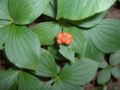 Bunchberry (2997933678).png