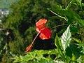 Bunga Merah.jpg