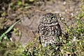 Burrowing owl, cape coral (24462742516).jpg