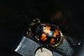 Burying Beetle (3685206213).jpg
