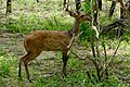 Bushbuck (Tragelaphus scriptus) young male browsing ... (50325835708).jpg
