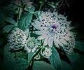 Butchart Gardens - Victoria, British Columbia, Canada (28467199803).jpg