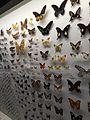 Butterflies (Lepidoptera), Lee Kong Chian Natural History Museum, Singapore - 20150808-02.jpg
