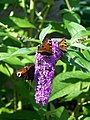 Butterflies on buddleia, St Peter's Churchyard - geograph.org.uk - 1442819.jpg