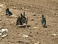 Butterfly mud-puddling at Kottiyoor Wildlife Sanctuary (1).jpg